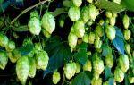 Хмель для пива: виды, сорта, формы и страны выращивания