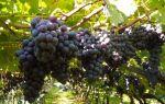 Fragolino (Фраголино) – вкусное клубничное шампанское родом из Италии