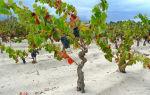 Вино Верментино: оригинальный напиток с острова Сардиния