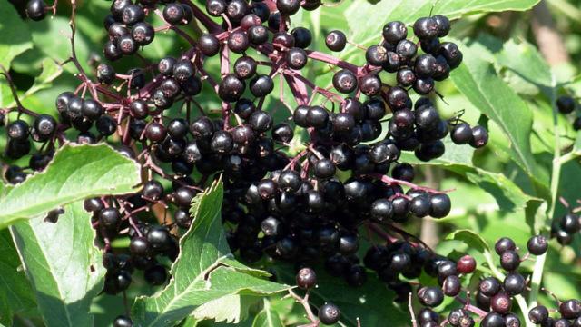 Вино из бузины в домашних условиях - рецепты из цветков и ягод