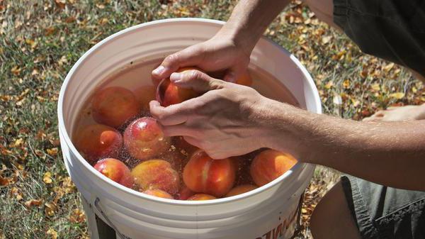 Вино из персиков в домашних условиях – рецепт приготовления