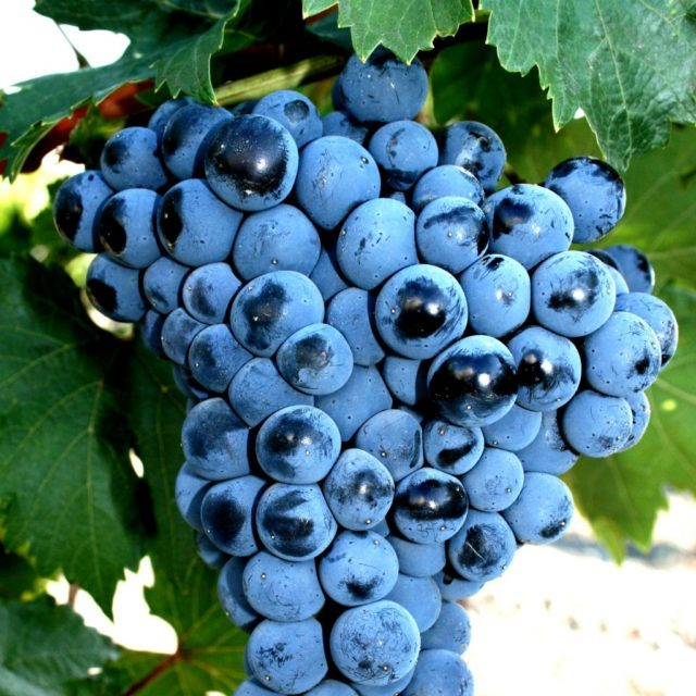 Болезни вина – причины, профилактика и методы лечения